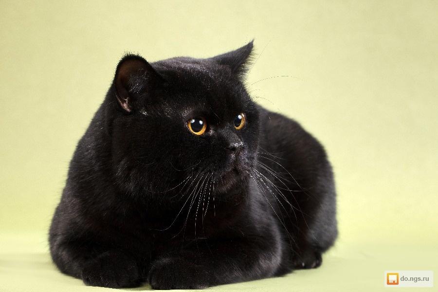 британец черный котенок фото стремились заполучить